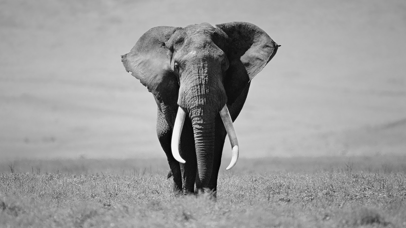 Black And White Elephant Wallpaper