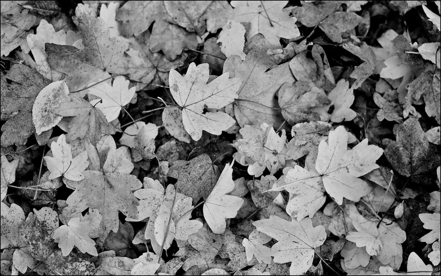 Download Black And White Leaf Wallpaper Gallery