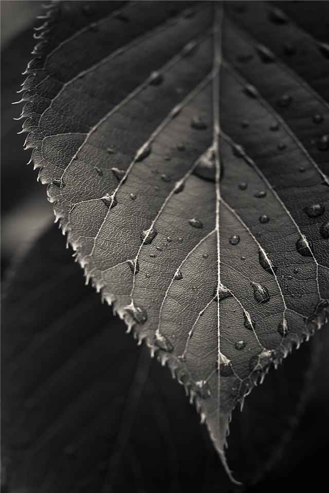 Music Games For Kids >> Download Black And White Leaf Wallpaper Gallery