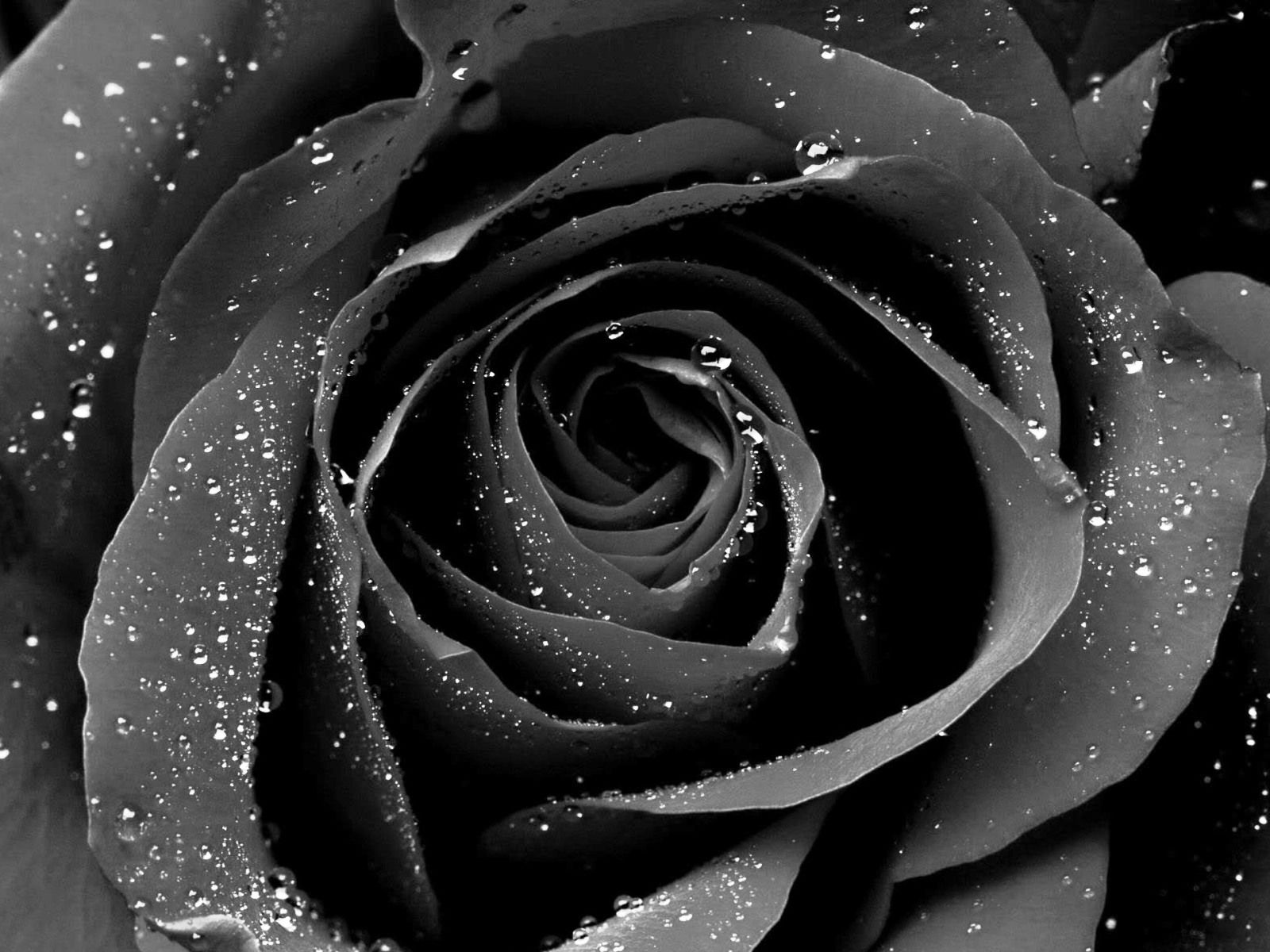 Black Rose Wallpaper Free Download