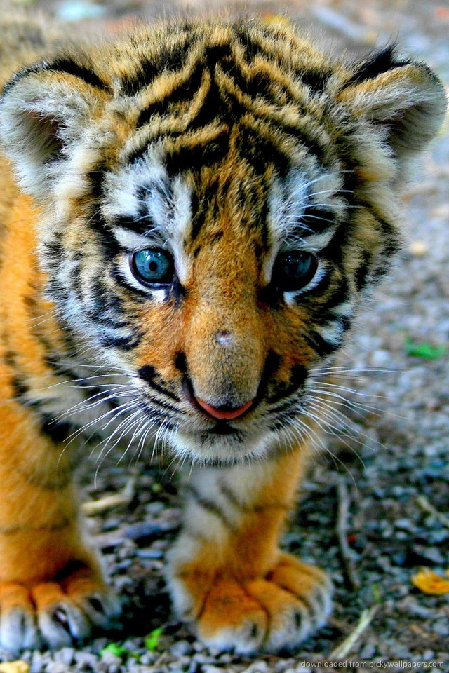 Blue Eyed Tiger Wallpaper