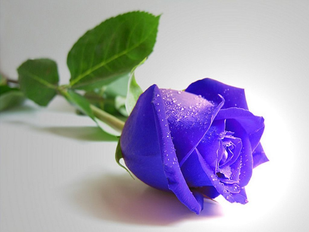 Blue Rose Flowers Wallpapers