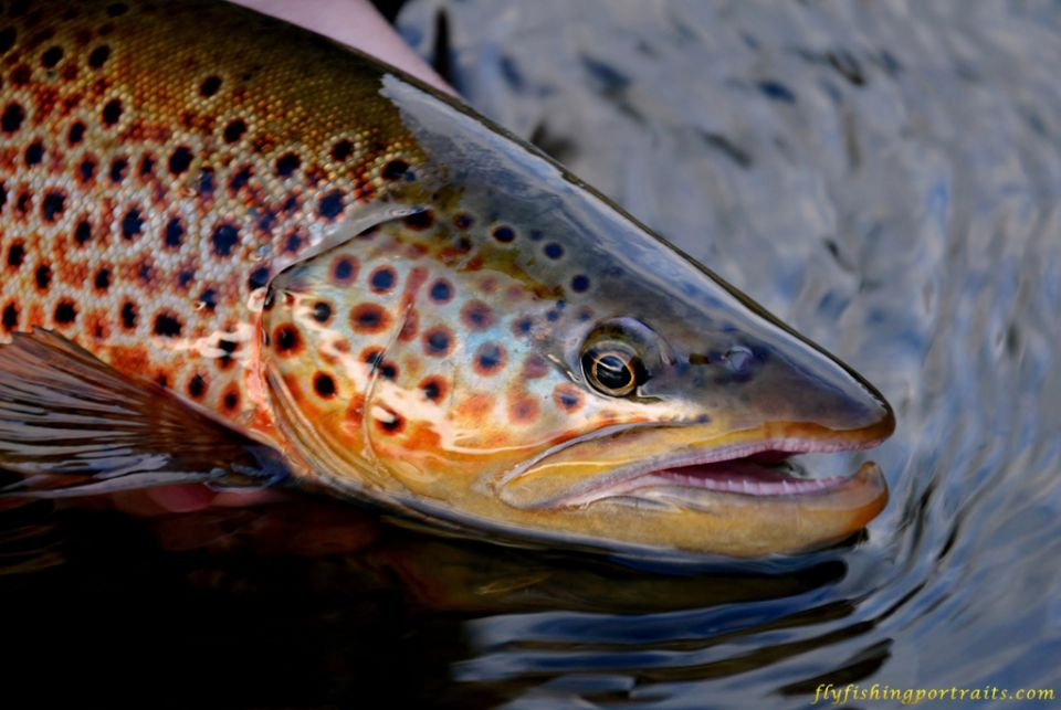 Brown Trout Wallpaper