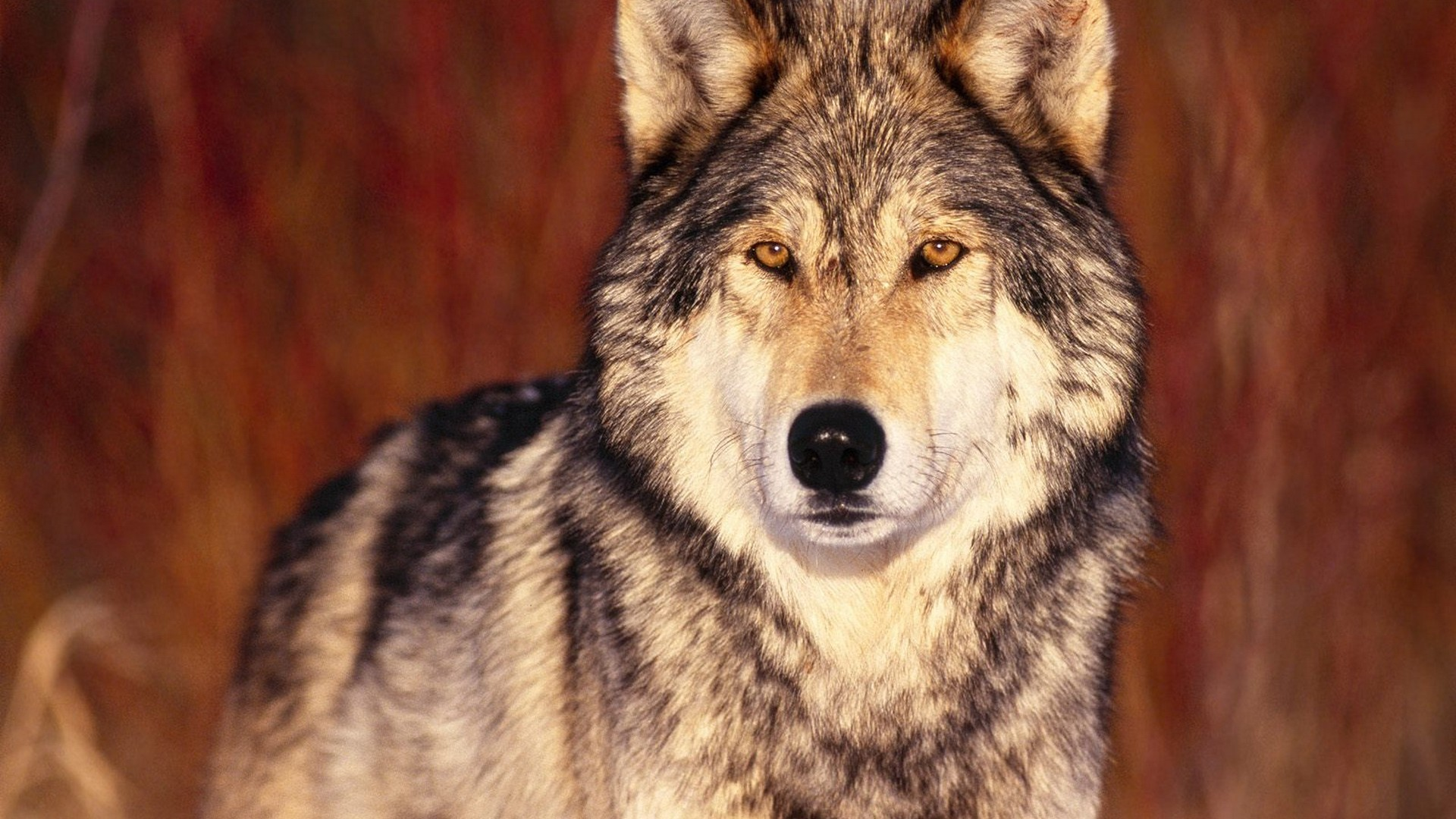 Brown Wolf Wallpaper