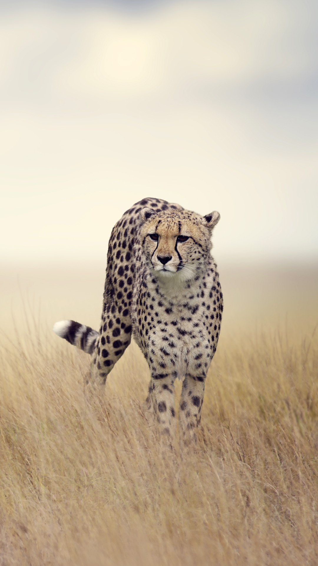 Cheetah Iphone Wallpaper
