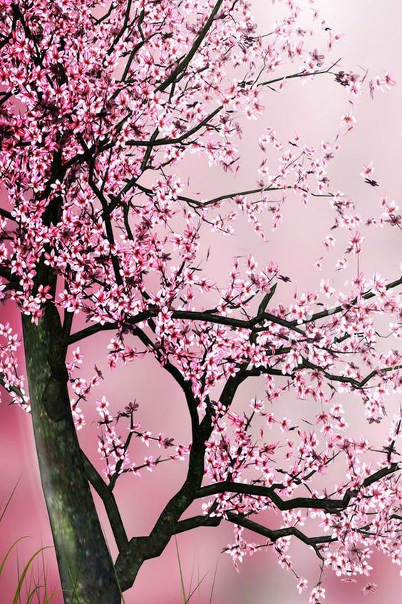 Download Cherry Blossom Phone Wallpaper Gallery