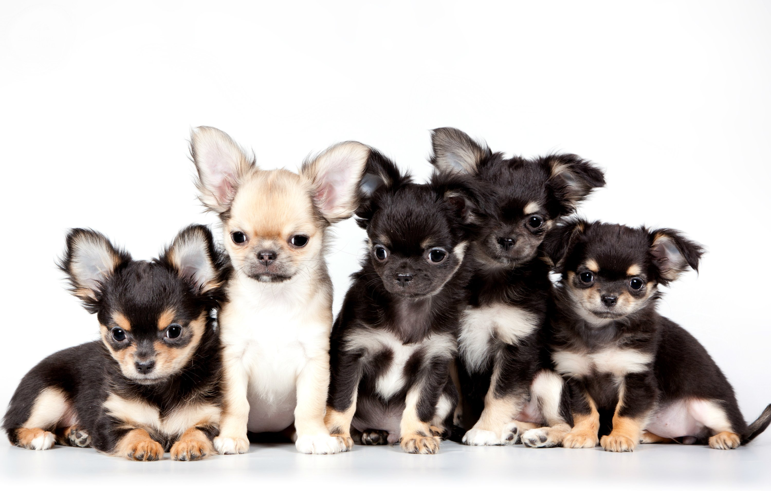 Download Chihuahua Dog Wallpaper Gallery