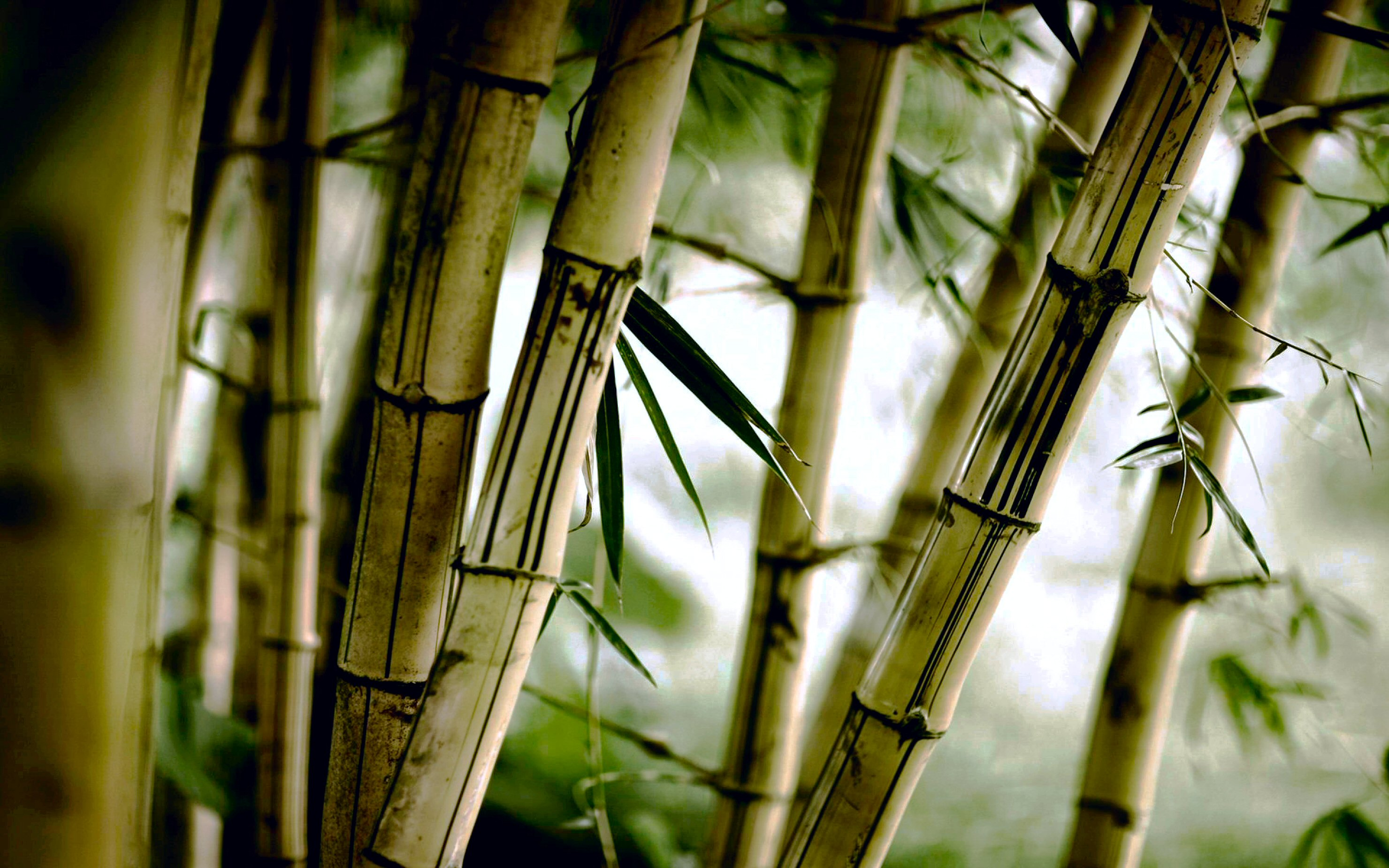 Chinese Bamboo Wallpaper