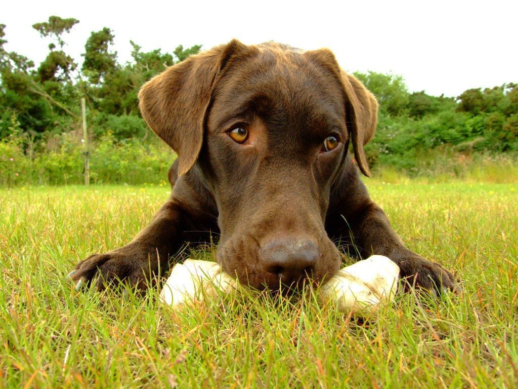 Chocolate Lab Wallpaper