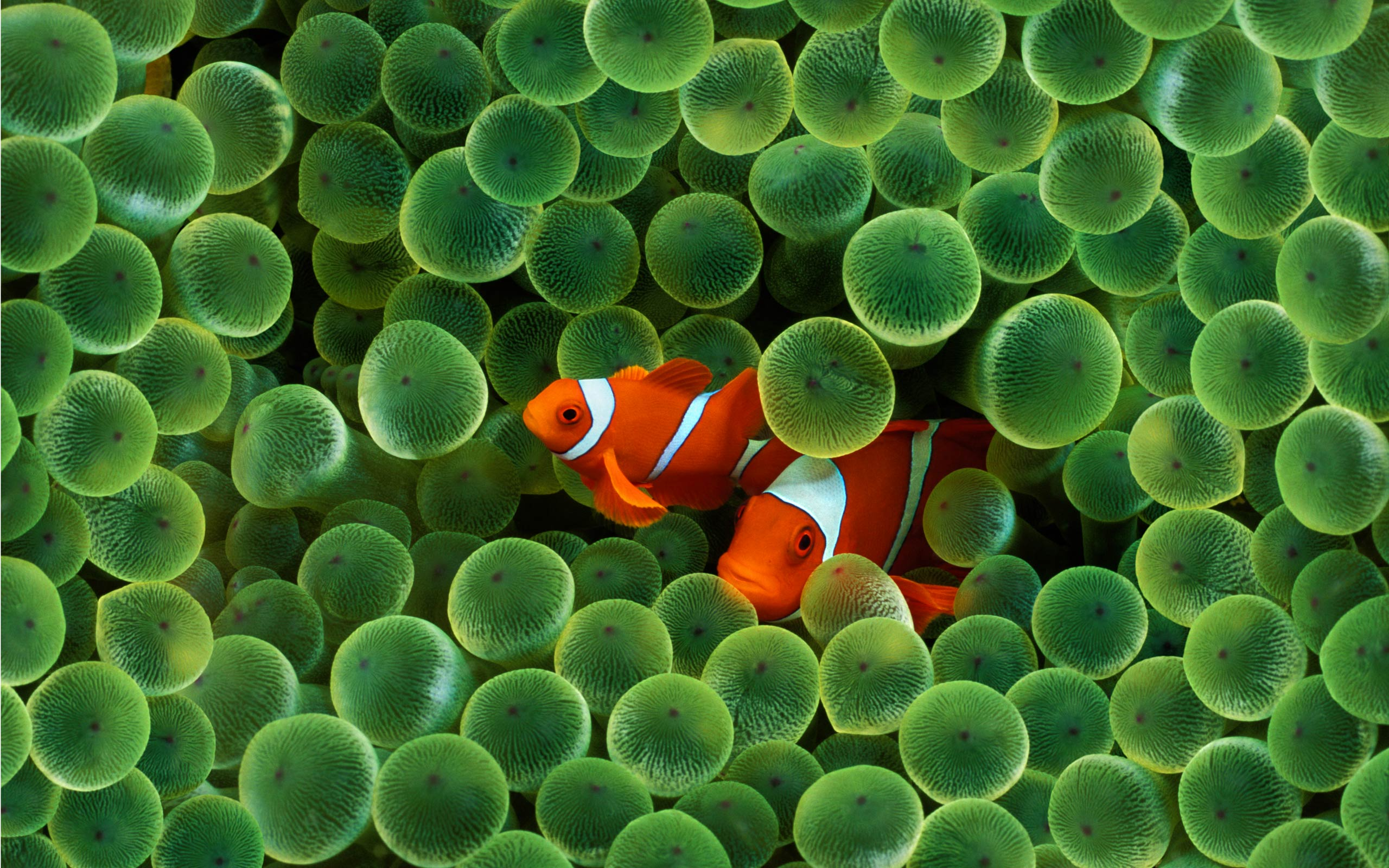 Clown Fish HD Wallpaper