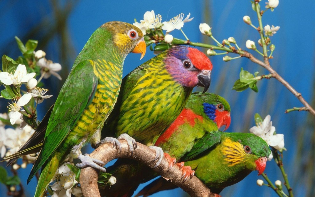Colorful Parrots Wallpaper