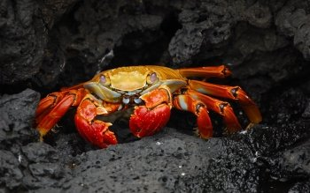 Crab Wallpapers