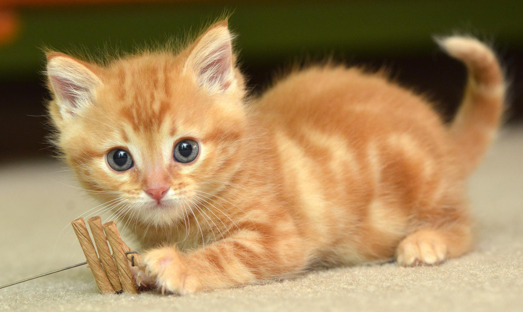 Download cute baby cat hd wallpaper gallery - Cute kittens hd images ...