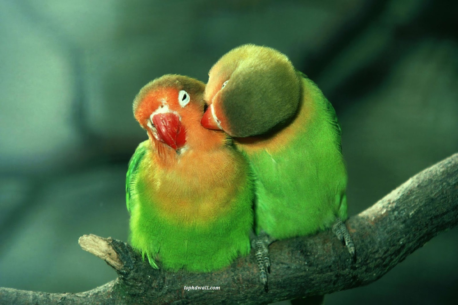 Cute Love Birds Wallpapers