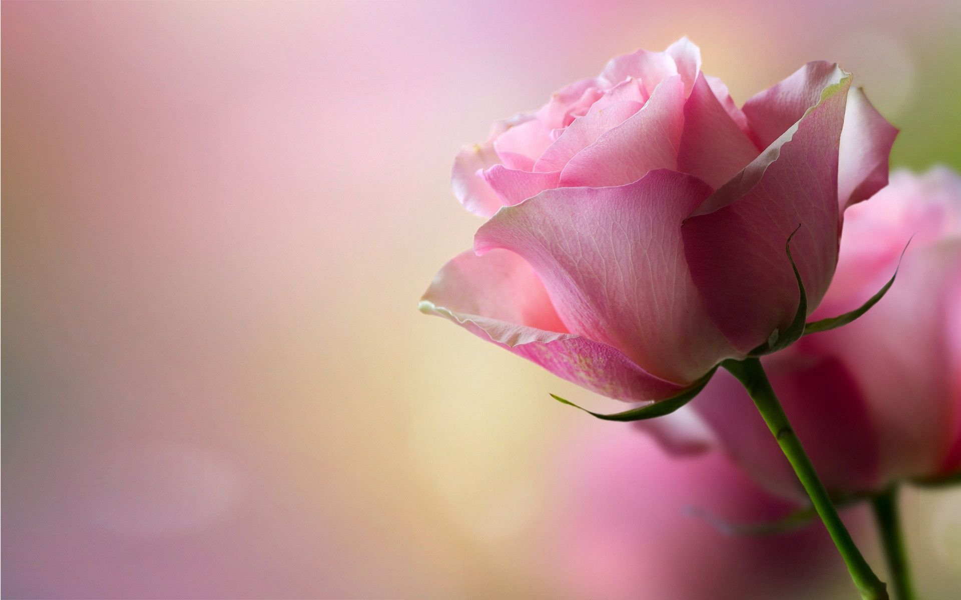 Cute Pink Rose Wallpaper