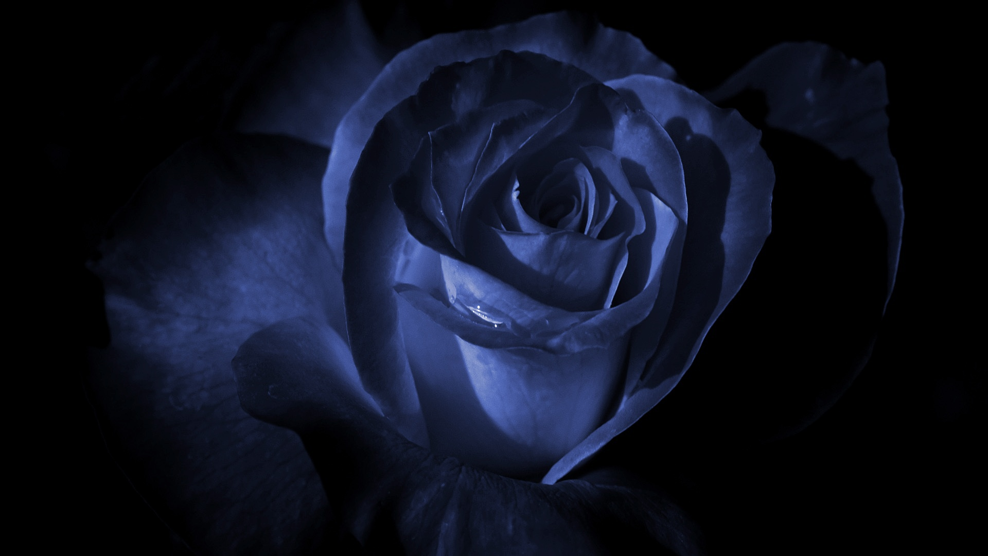 Dark Blue Rose Wallpaper