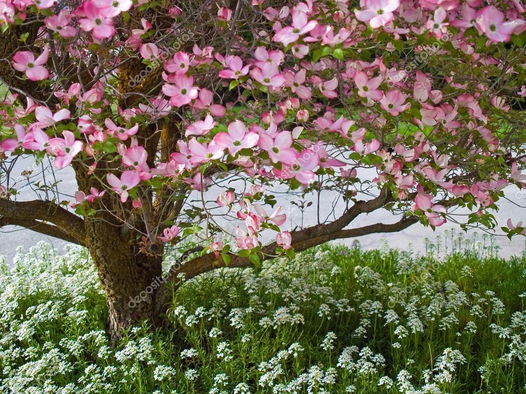 Download Dogwood Tree Wallpaper Gallery