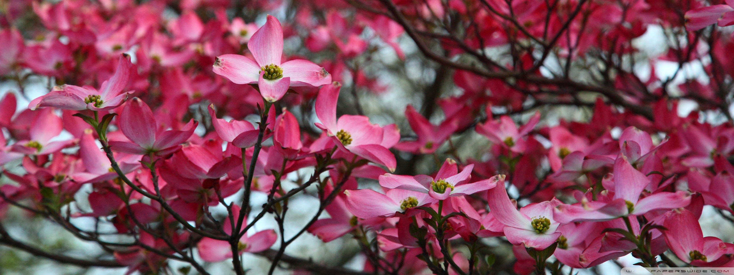 Dogwood Tree Wallpaper