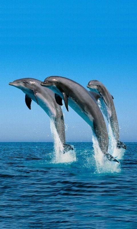 Dolphin Video Live Wallpaper