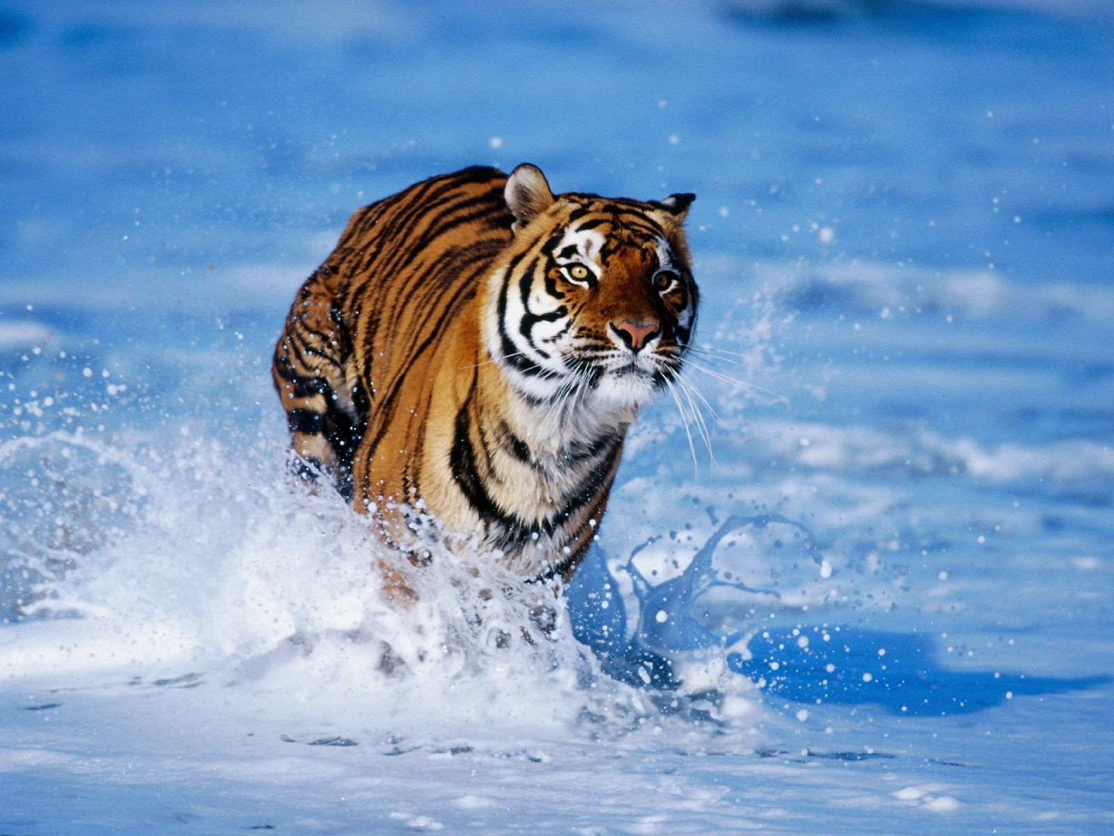 Download Tiger Wallpaper
