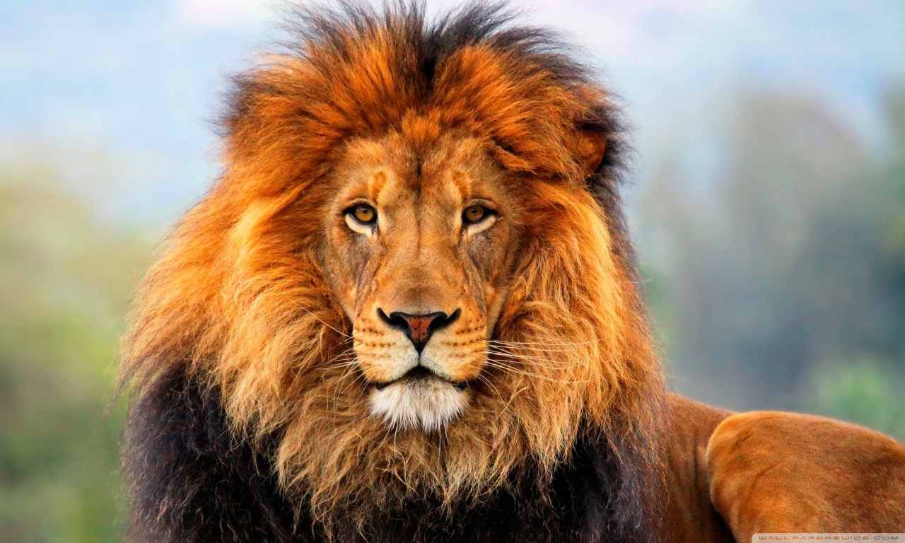 Download Wallpaper Of Lion