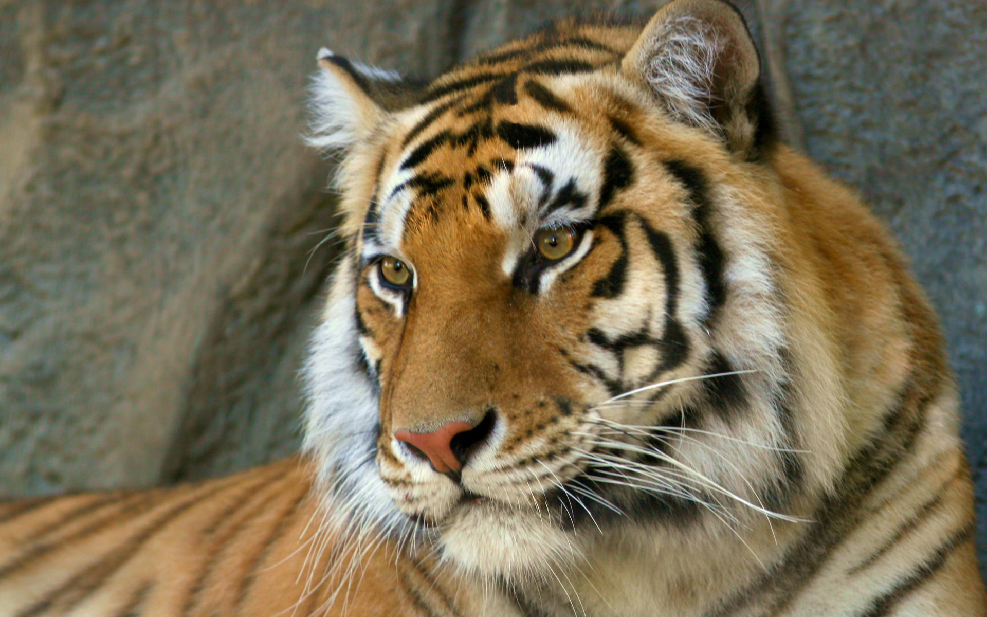 Download Wallpaper Of Tiger