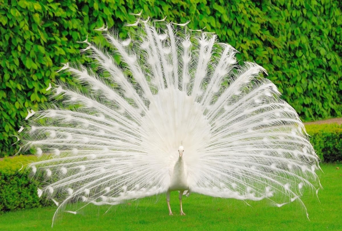 Download White Peacock Wallpaper