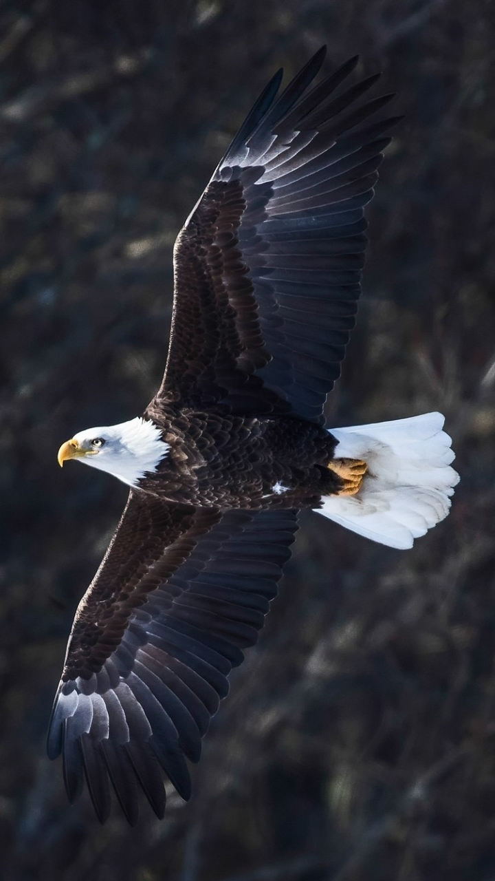 Download Eagle Mobile Wallpaper Gallery