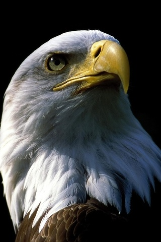 Eagle Wallpaper For Mobile