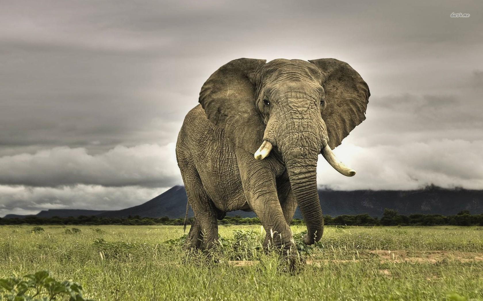Elephant Wallpapers High Quality