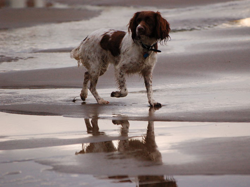 Download English Springer Spaniel Wallpaper Gallery