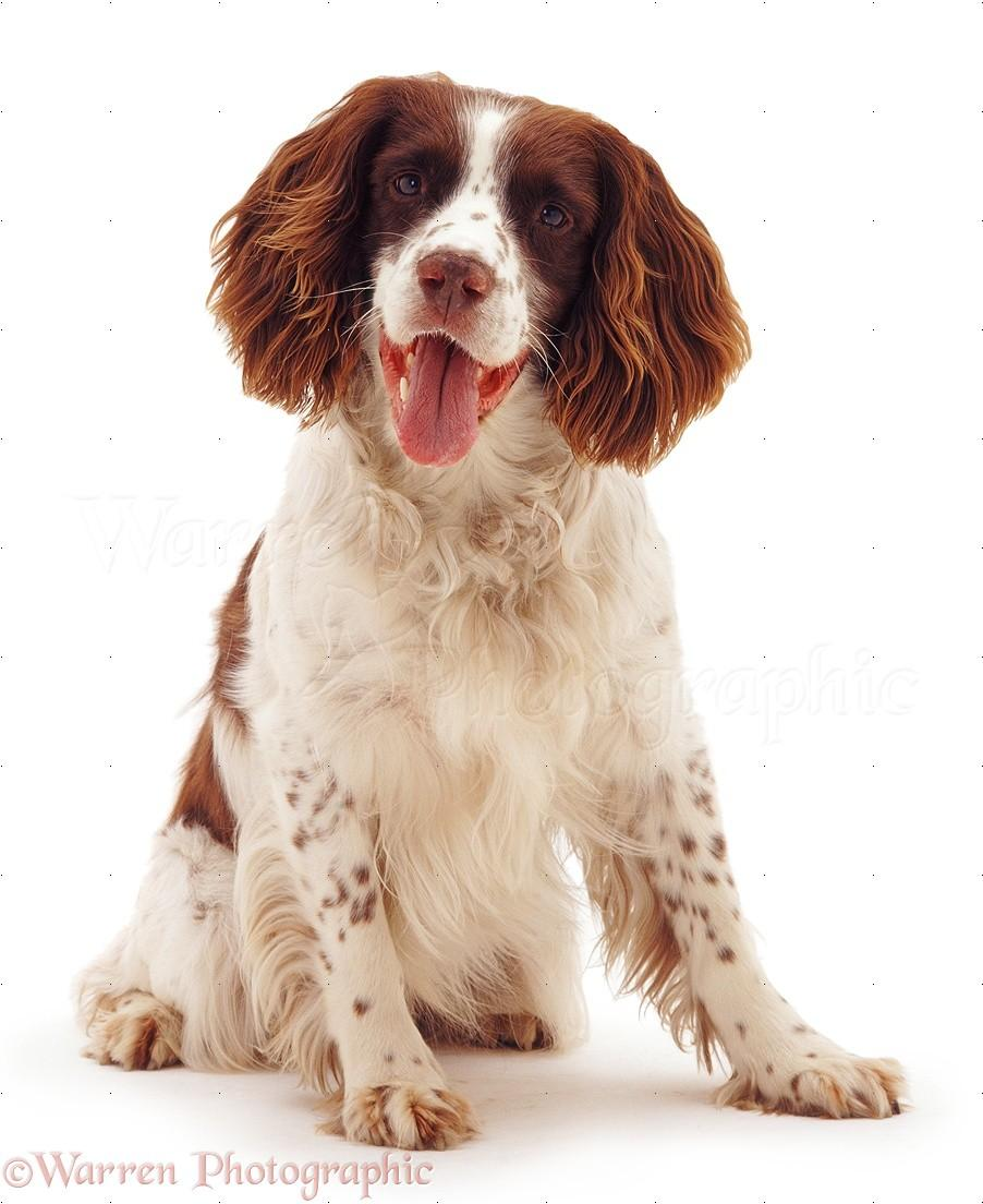 English Springer Spaniel Wallpaper