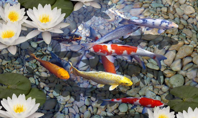 Fish Pond Live Wallpaper