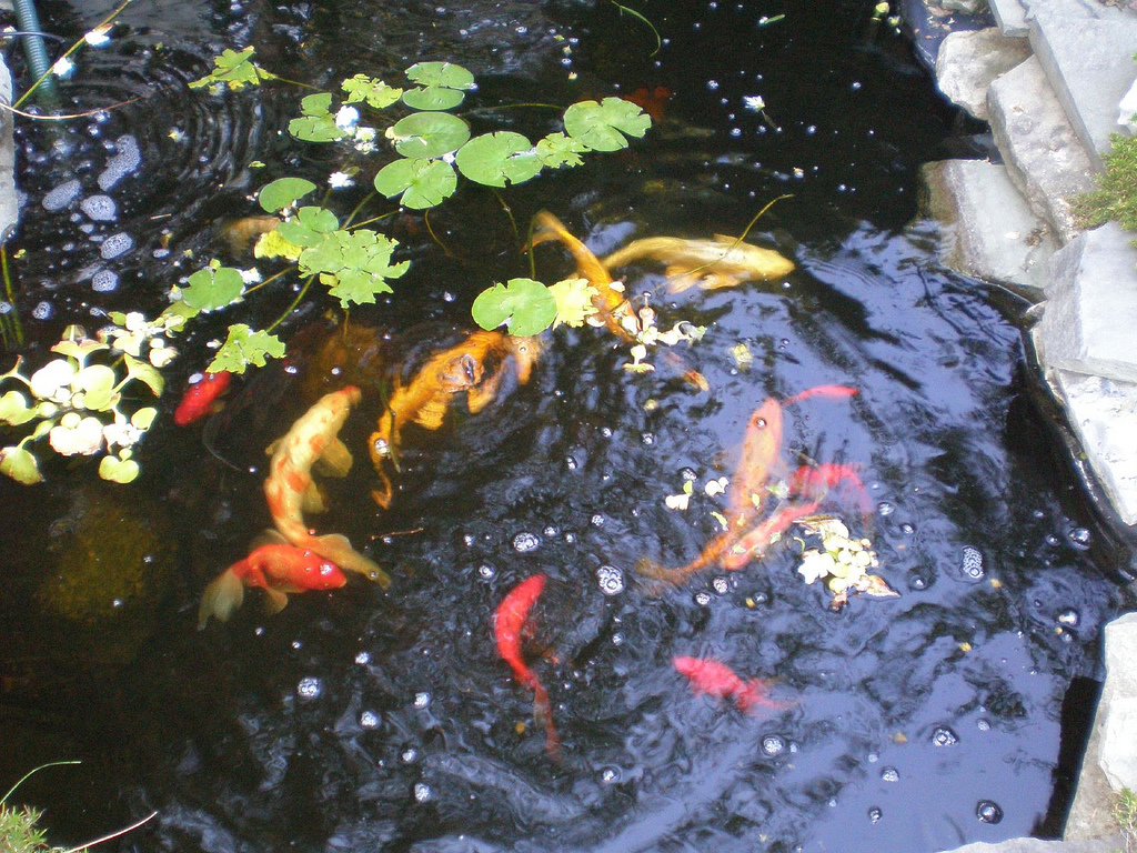 Download fish pond wallpapers free gallery for Koi pond game online