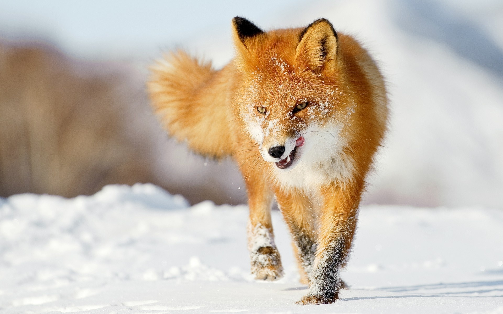 Fox Wallpapers Free