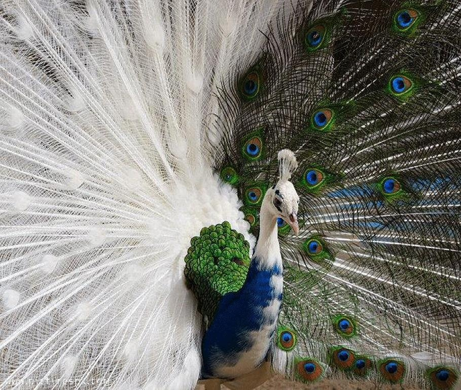 Free Download Peacock Wallpaper