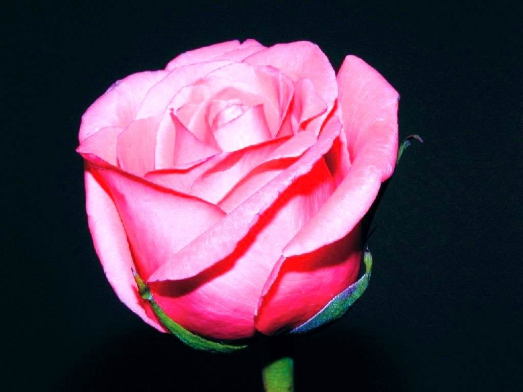 Free Download Rose Wallpaper For Mobile