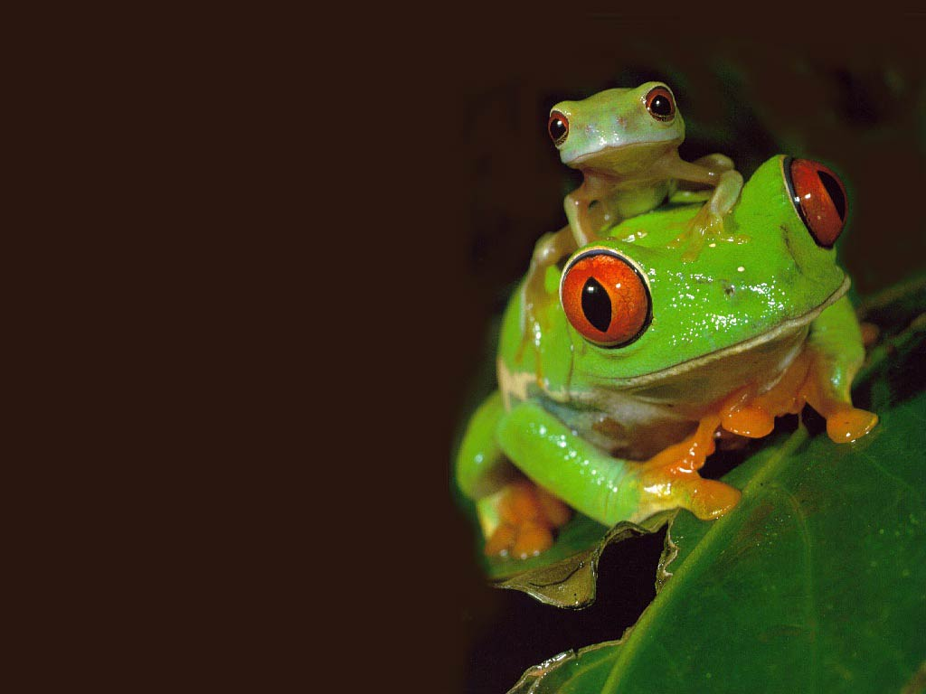 Free Live Frog Wallpaper