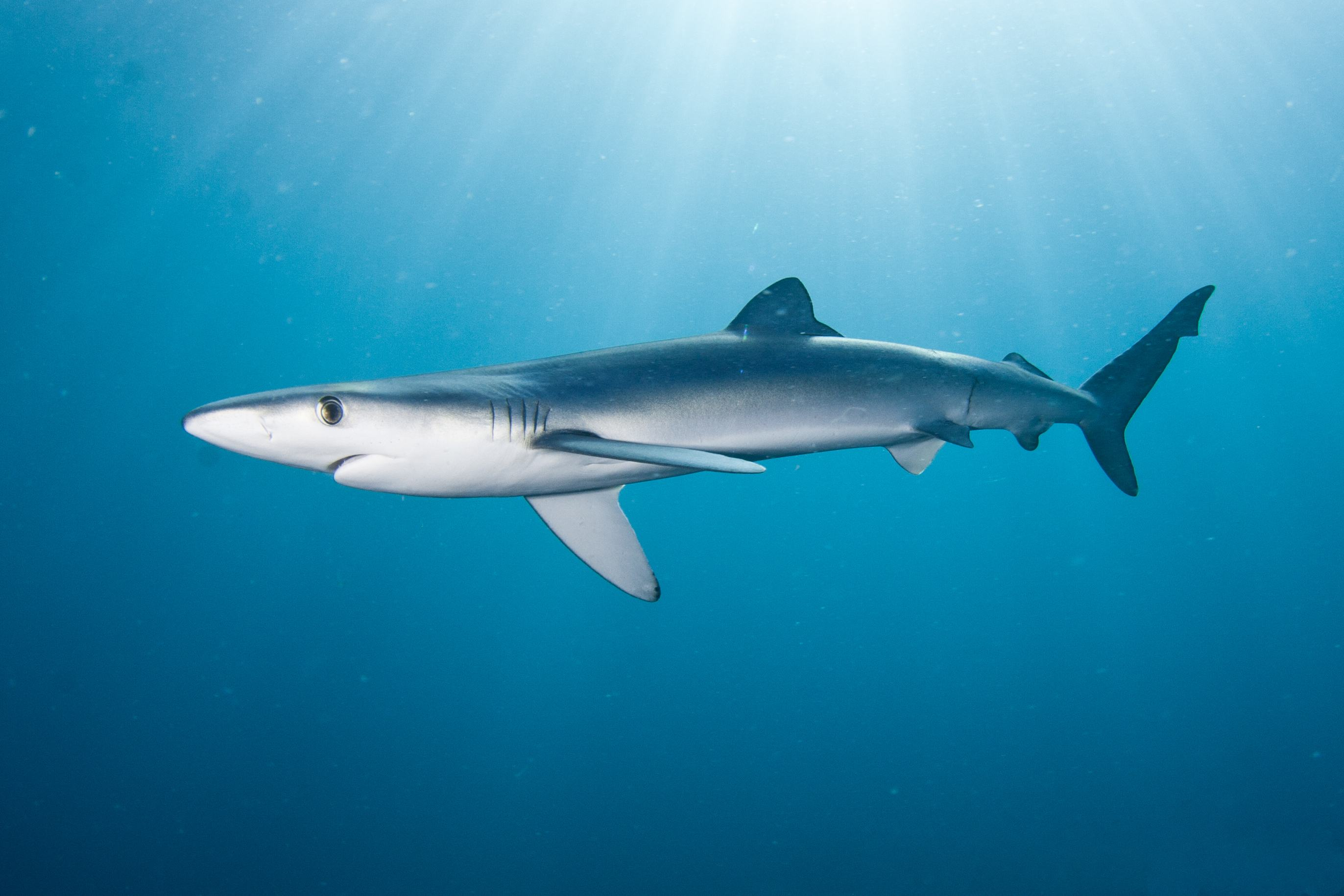 Download Free Live Shark Wallpaper Gallery