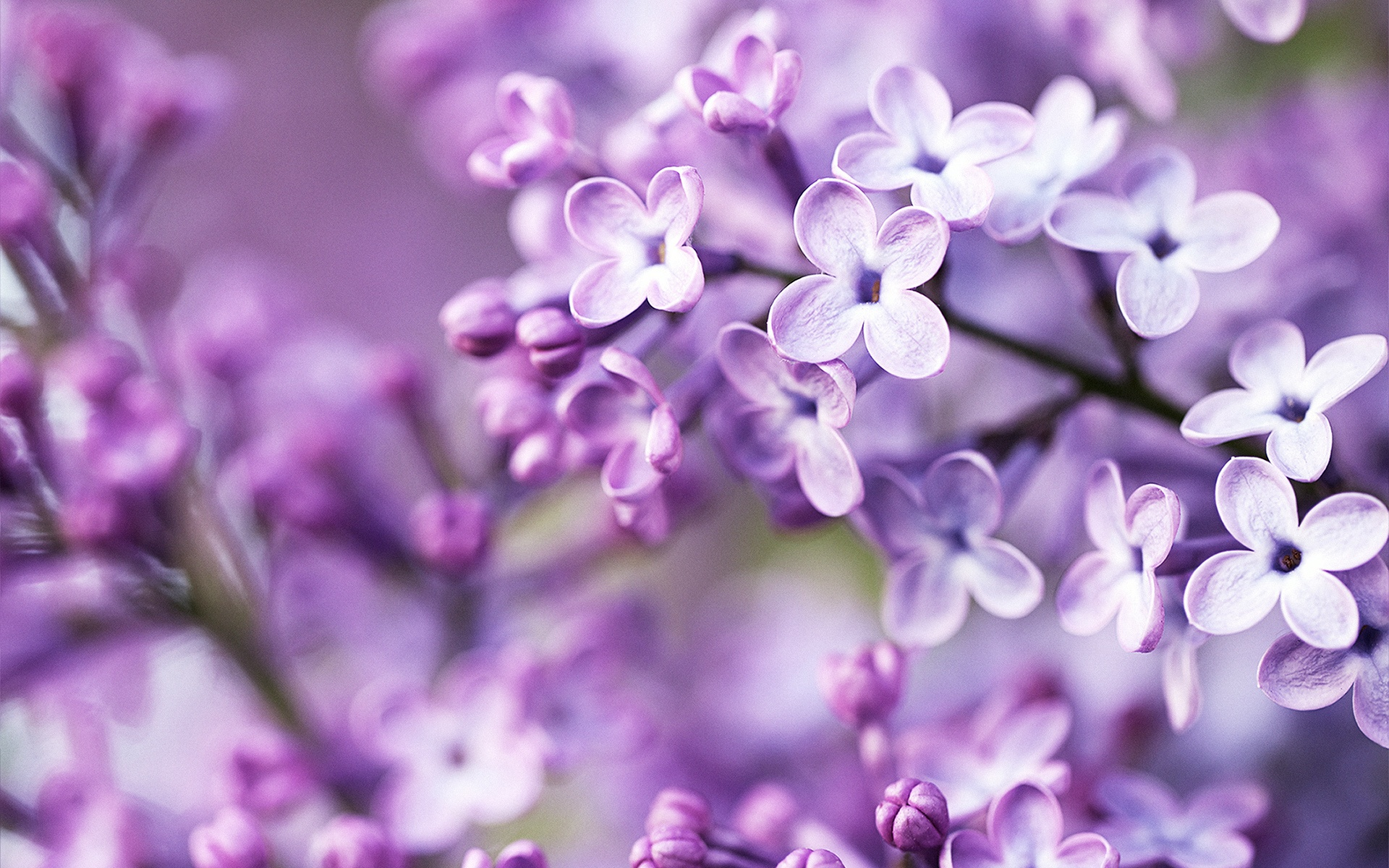 Free Purple Flower Wallpaper