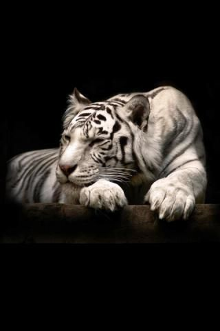 Free Tiger Wallpaper For Android