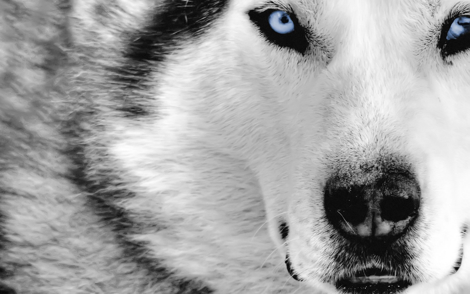 Free Wolf Wallpaper Downloads