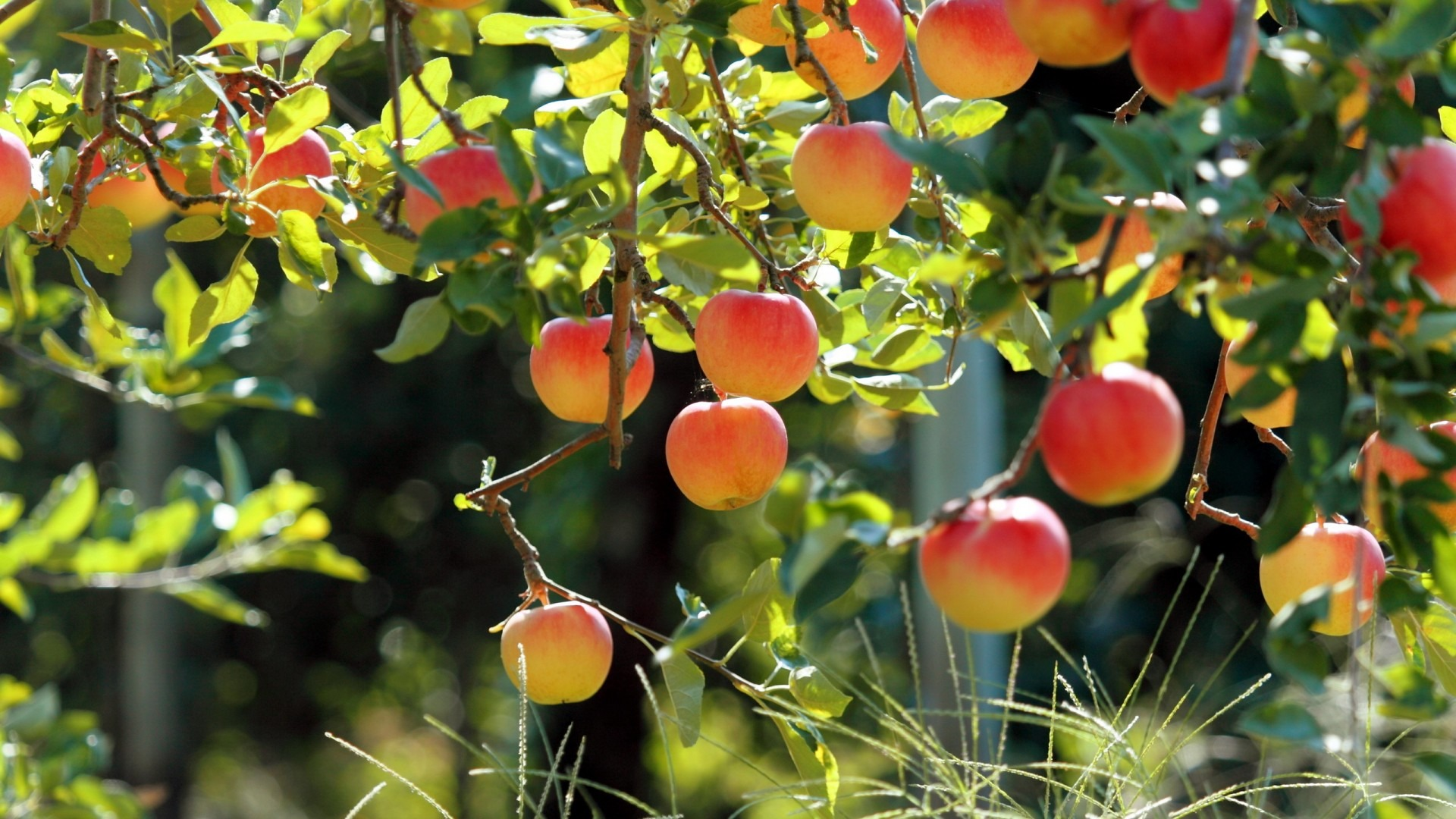 Fruit trees wallpapers