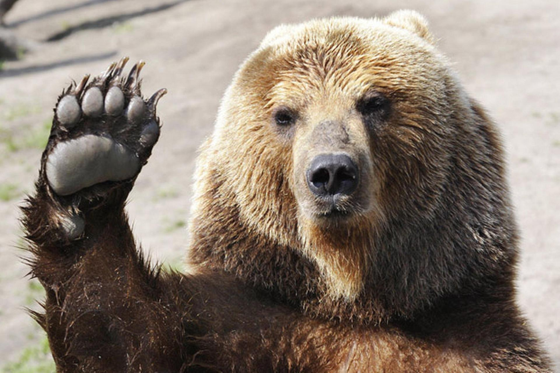 Funny Bear Wallpapers