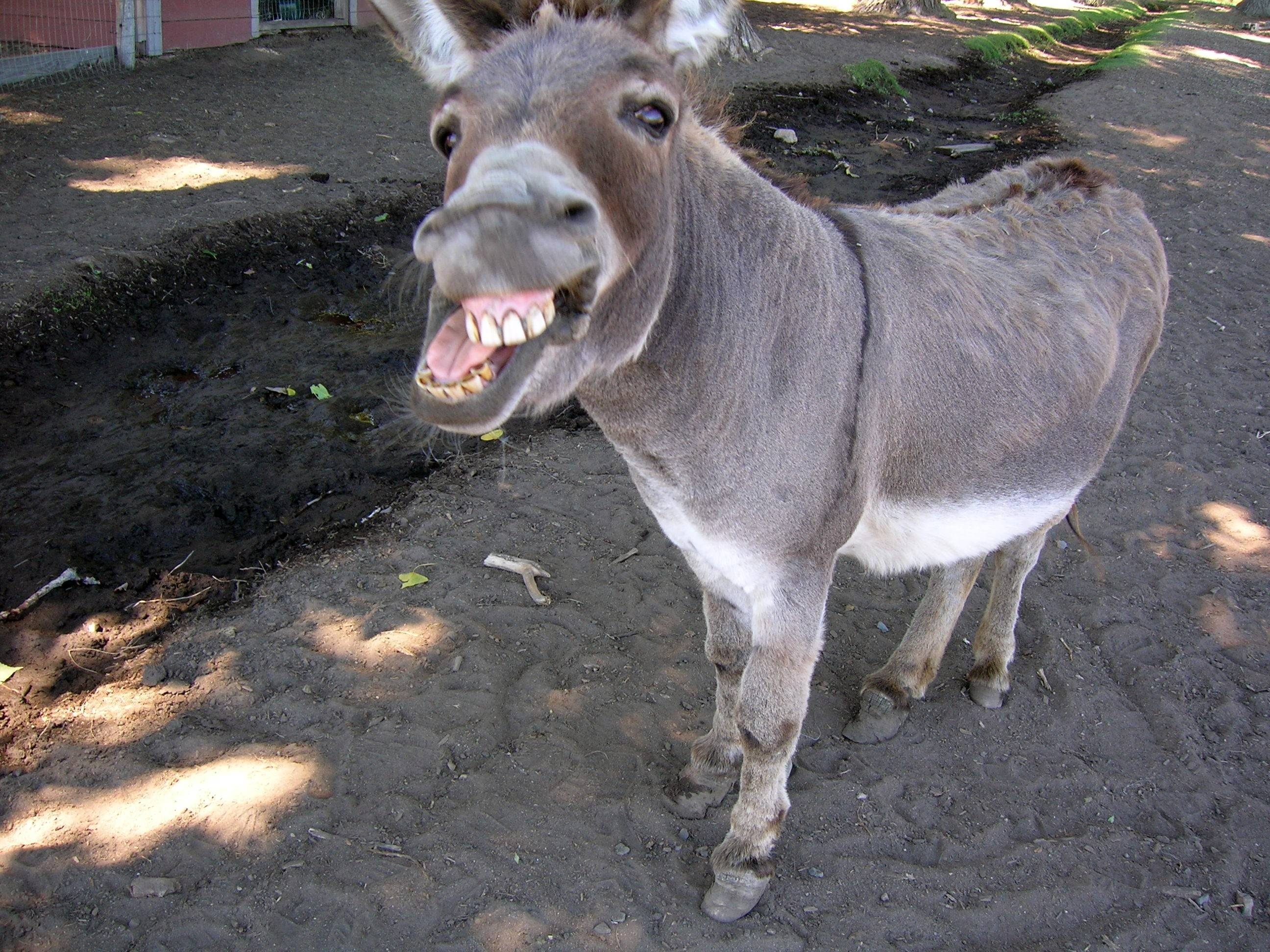 Funny Donkey Wallpaper