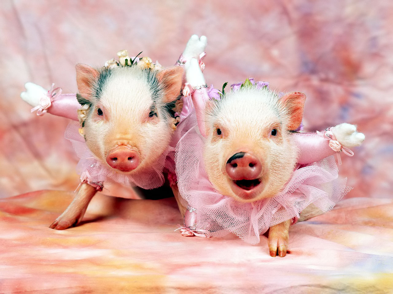 Funny pig pictures