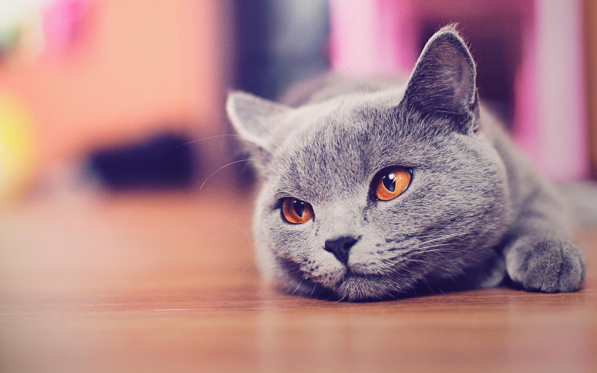 Gray Cat Wallpaper