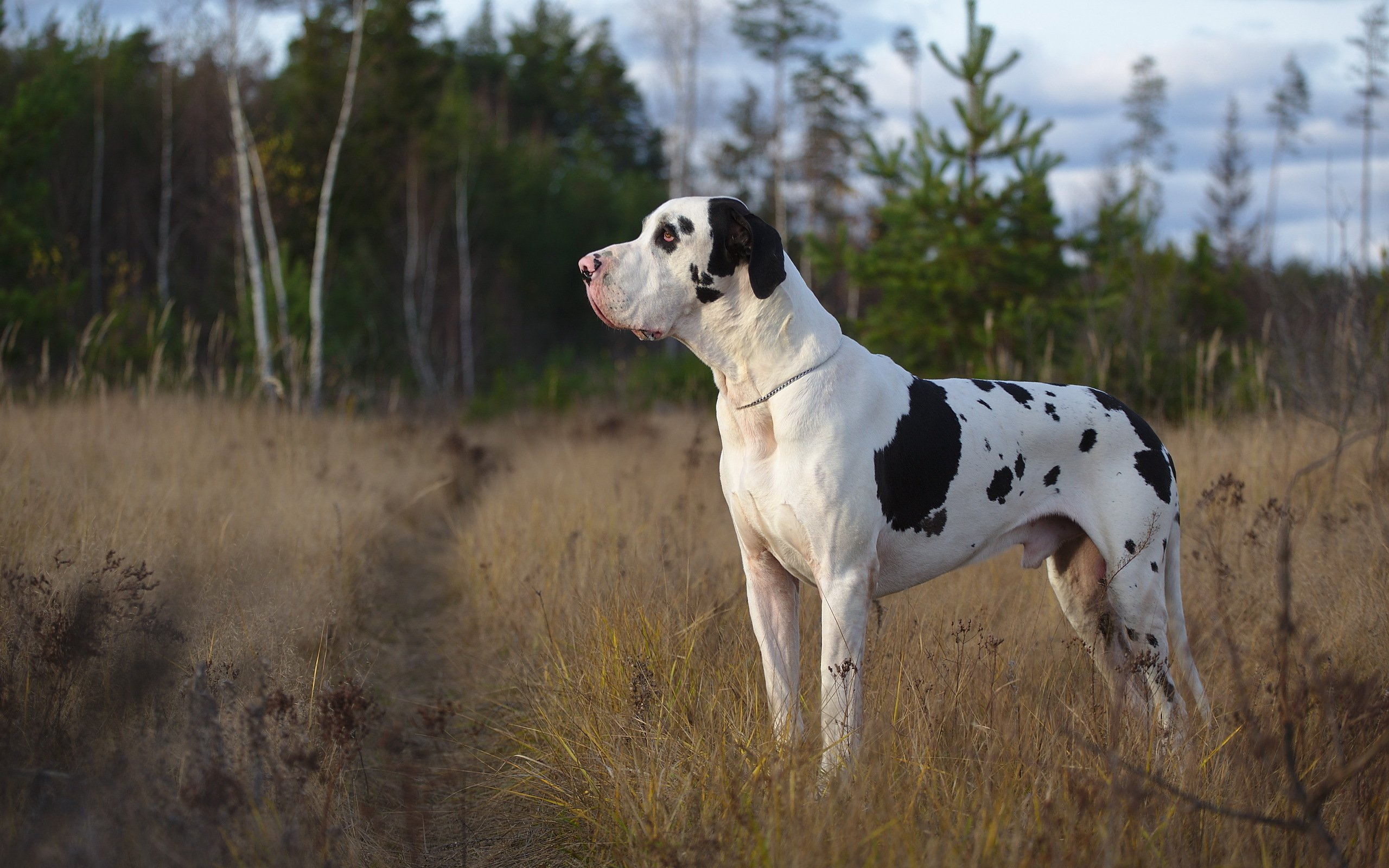 Great Dane Wallpaper