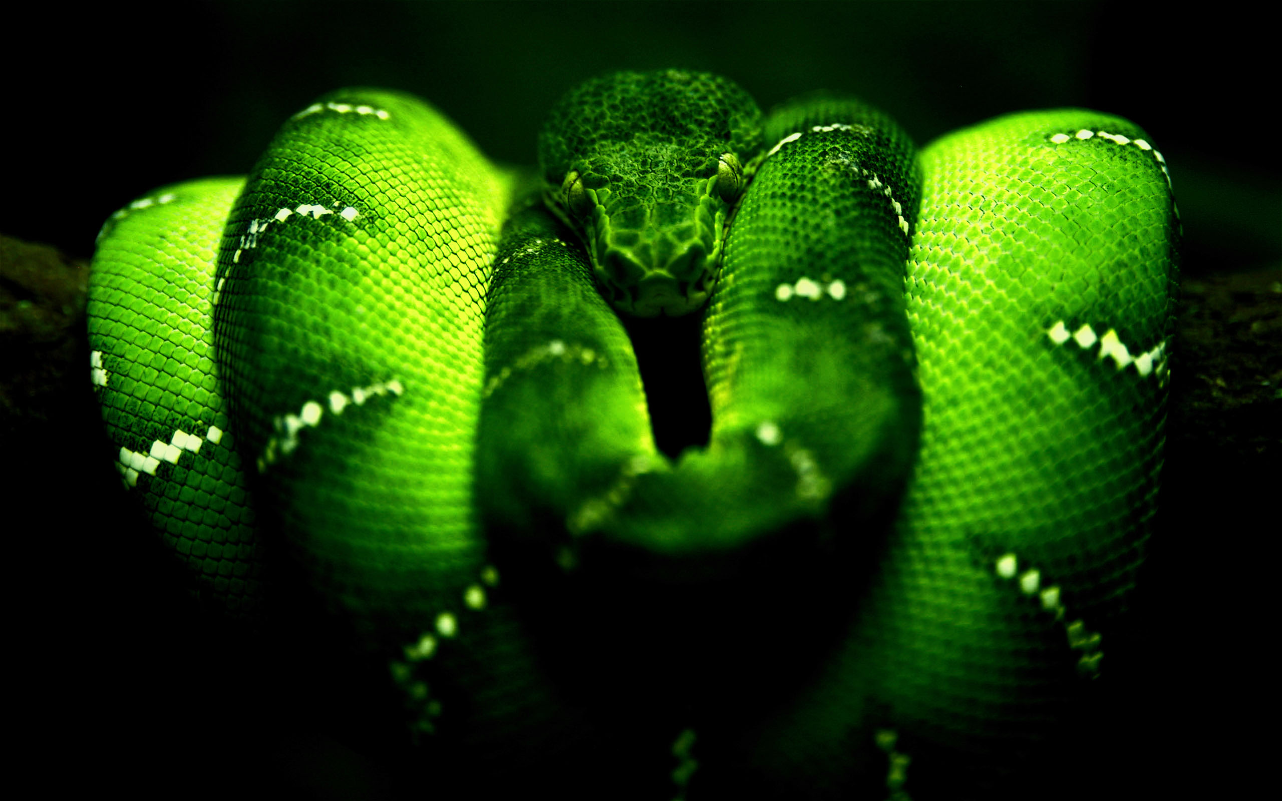 Green Snake HD Wallpaper
