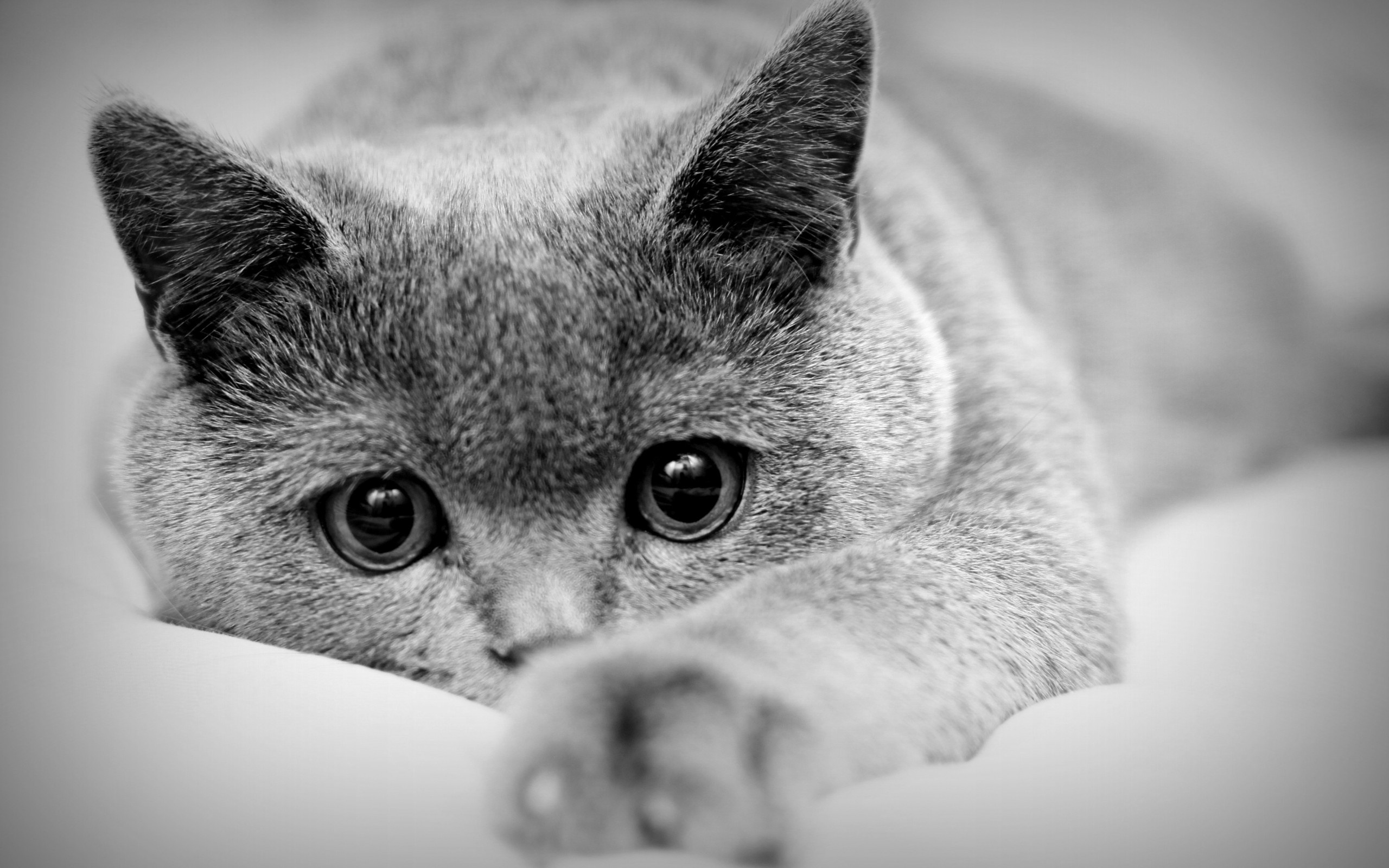 Grey Cat Wallpaper
